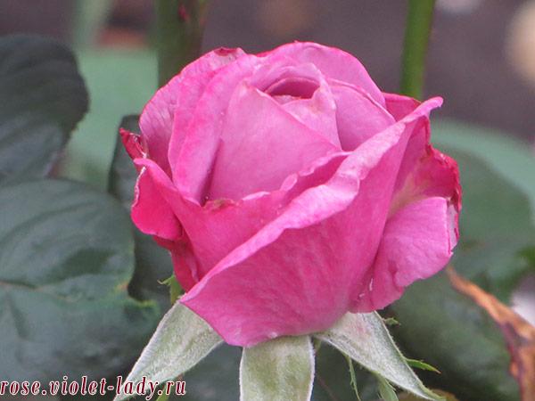 как укоренить черенок розы