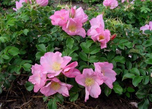 роза Dagmar Hastrup