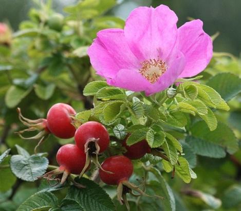 розовая роза Dagmar Hastrup