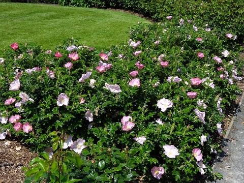 где посадить розу Dagmar Hastrup