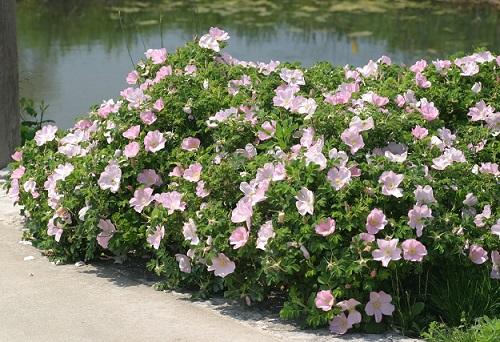уход за розой Dagmar Hastrup