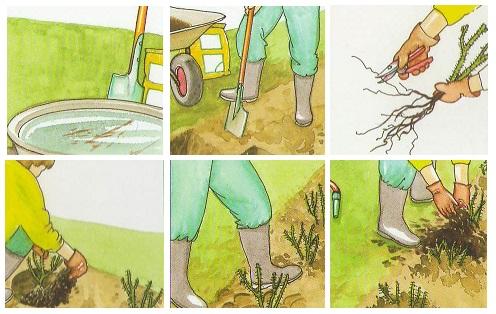 Как посадить розу Dagmar Hastrup
