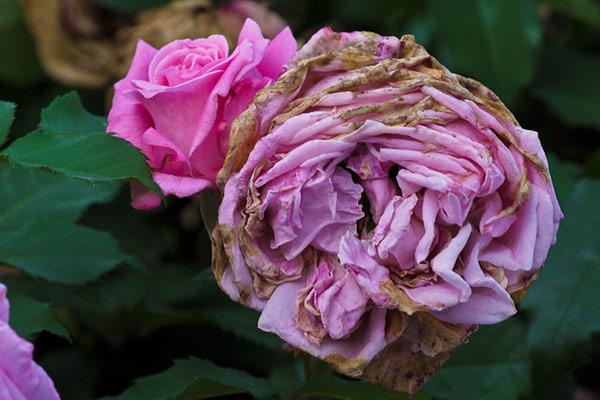 Почему засыхают розы