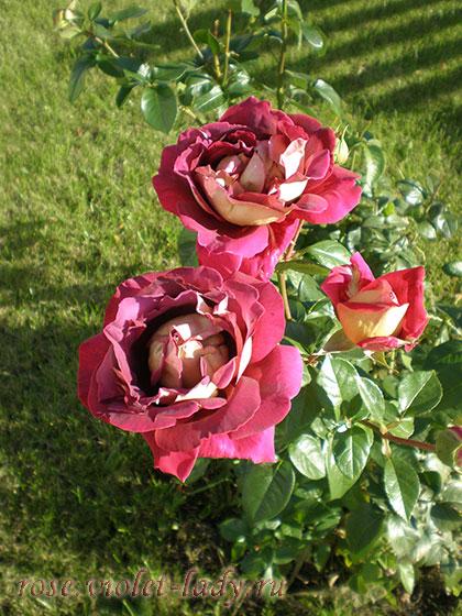 как выбрать место для розы в саду