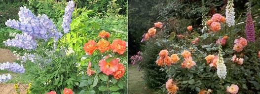 роза Westerland на клумбе