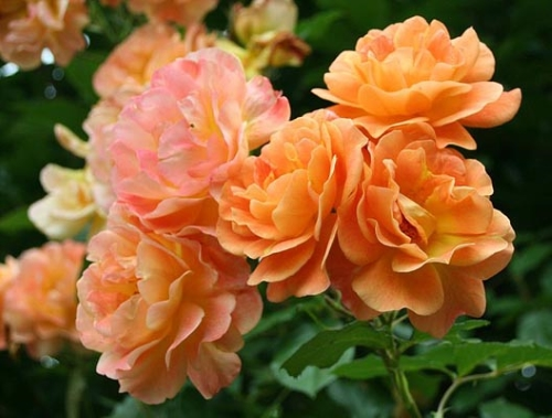 уход за розой Westerland