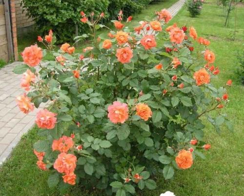 выращивание розы Westerland
