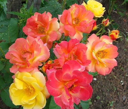 фото розы Joseph's Coat