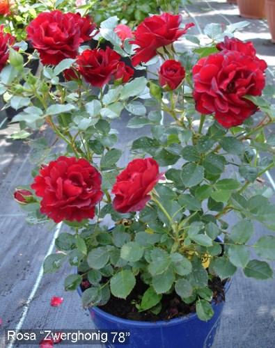 роза Zwergkonig 78 в горшке