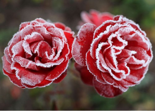 роза Zwergkonig 78 фото