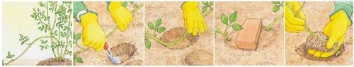 Посадка и размножение розы