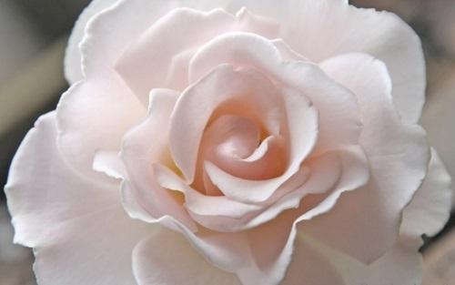 Роза Margaret Merril
