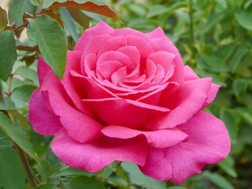 Роза Рarole