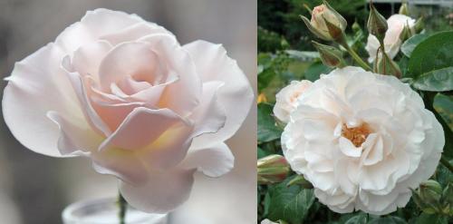 розово-белая роза флорибунда Margaret Merril