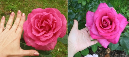 огромная роза Пароль