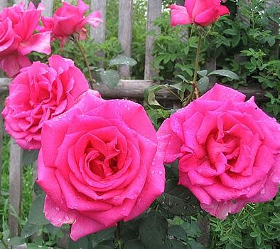 розовая крупная роза Пароль