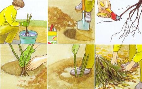 Как посадить розу Маргарет Меррил
