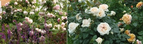 сорт Маргарет Меррил в саду