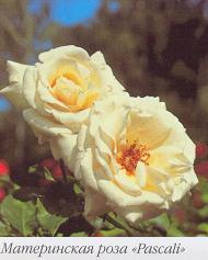 родительская роза