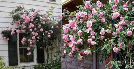 роза Мадам Грегори Стешелин выращивание