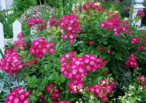 Сорт Red Yesterday с малиново-белыми цветками
