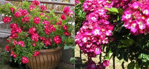 почвопокровная малиновая роза Red Yesterday