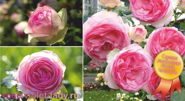 Агротехком розы миниатюрные