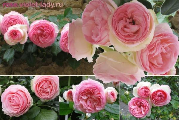 Фото розы пьер де ронсар