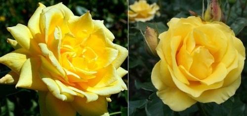 роза King's Ransom фото