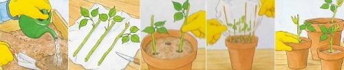 Как посадить из черенка розу Kings Ransom
