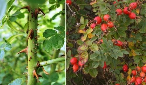 роза эглантерия плоды шиповника