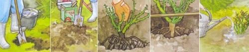 как посадить шиповник ржаво-красный