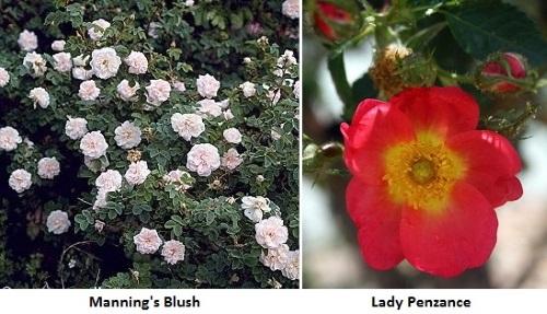 Сорта розы Эглантерии