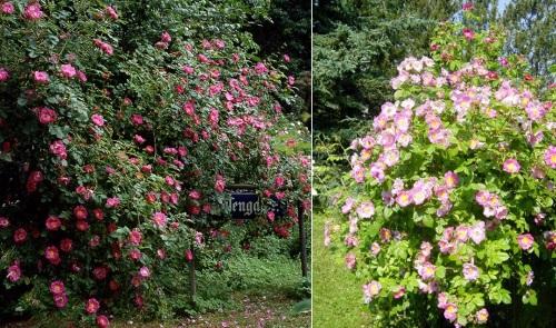 шиповник ржаво-красный в саду