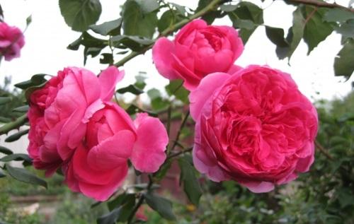 плетистая роза Parade