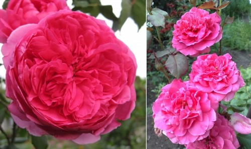 крцпные цветы сорта роз Парад