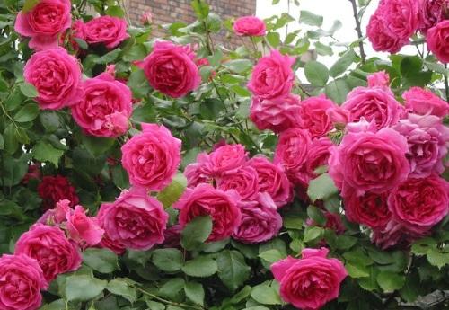 Розовые розы плетистые