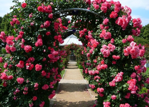 арки из розовых роз