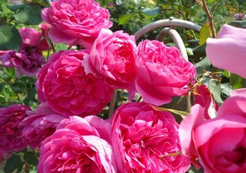 Уход за розой