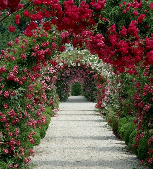Плетистые розы на арках