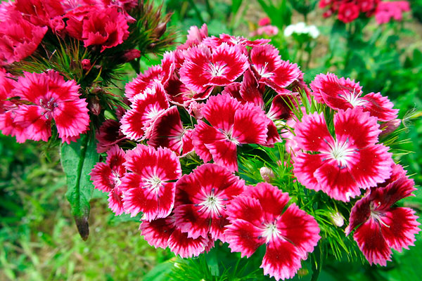 Гвоздика садовая многолетняя посадка