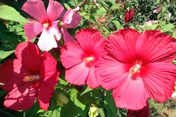 Цветы гибискус посадка и уход фото