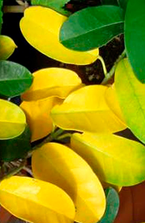 Комнатный жасмин желтеют листья